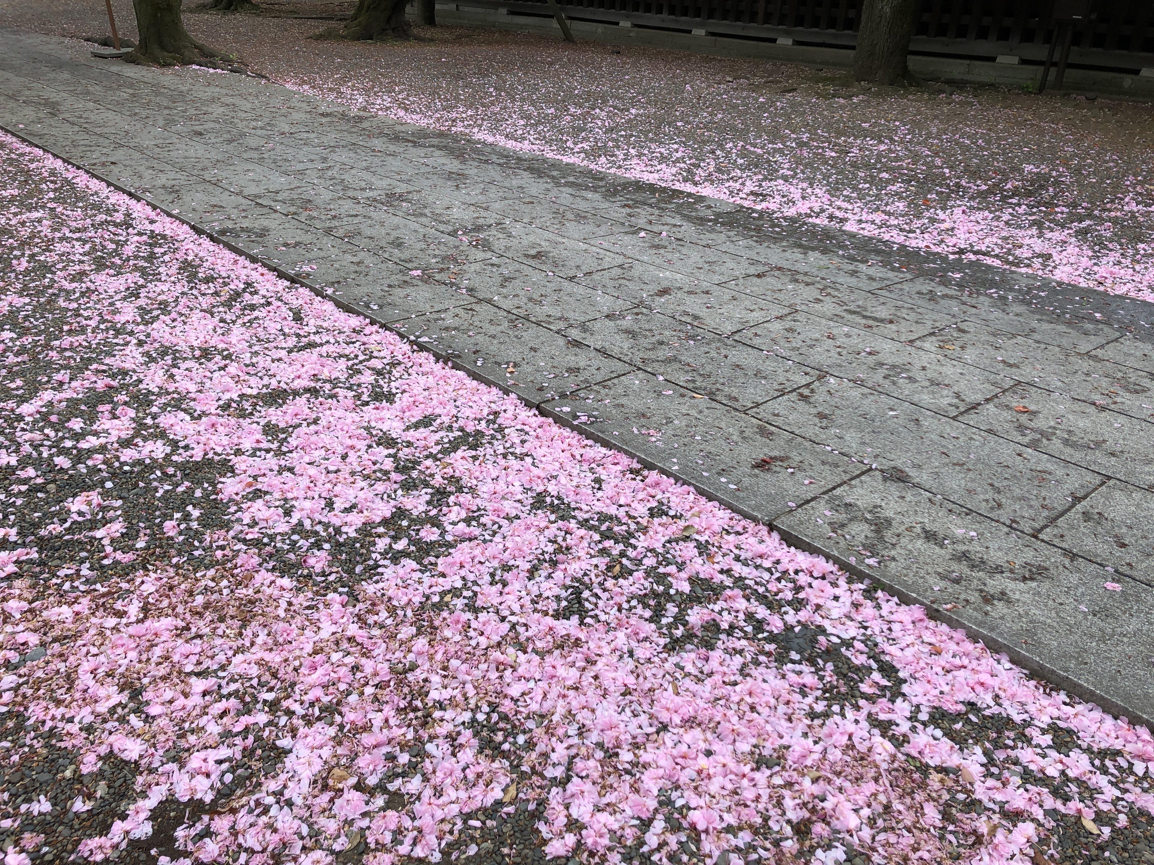 八重桜が知っている様子